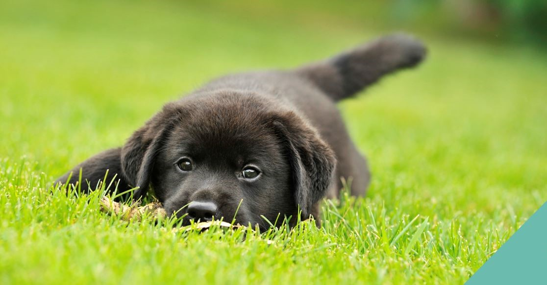A black puppy lying on the grass